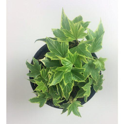 Hedera Canariensis 3.