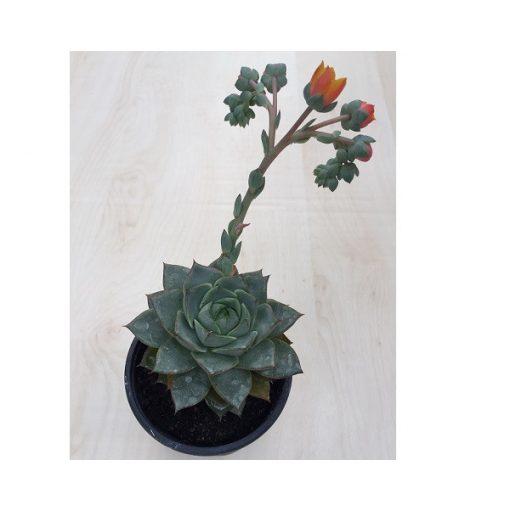 Echeveria purpusorum green