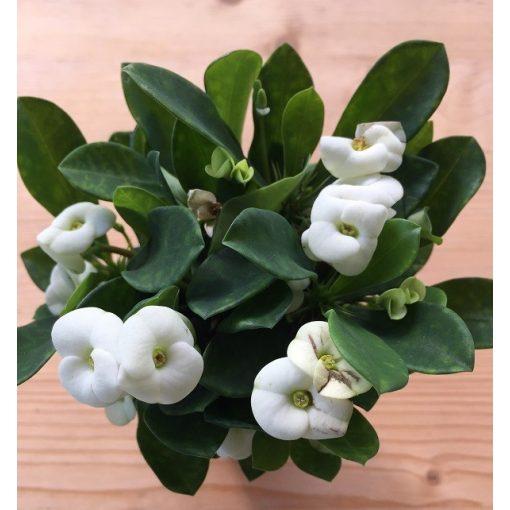 Euphorbia milli biely