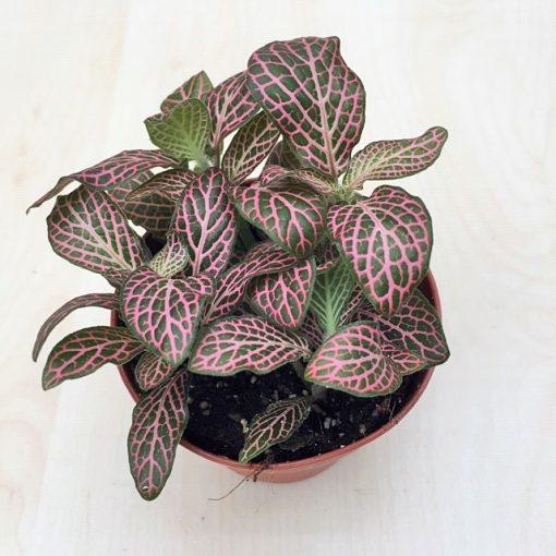 Fittonia - Ružová